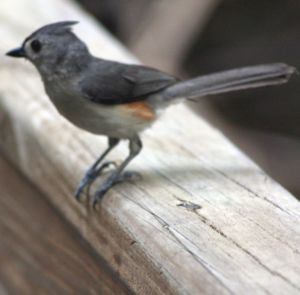 Titmouse at John Chestnut Park