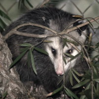 Possum in Port Richey Florida
